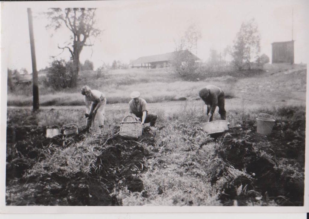 Potatisplockning-i-Bersbo